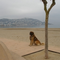 Chewbacca posing on the beach at Roses... Good boy xx